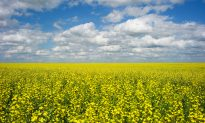 China Blocks Canola Shipments From Canada's Richardson Amid Diplomatic Row