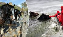 2 Clydesdales Horses Rescued from Frozen Lake After Escaping from Stable