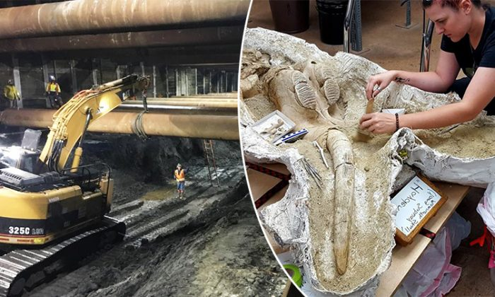 Treasure Trove of Ice Age Fossils Unearthed During LA Subway's Purple Line Expansion
