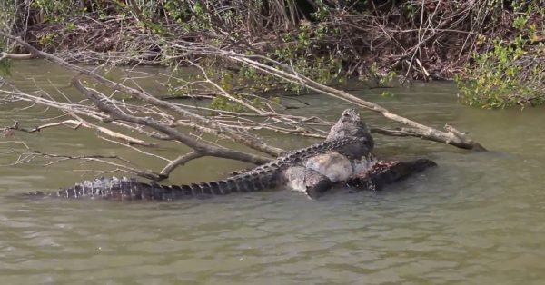 body of dead crocodile