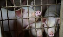 China Hog Prices Hit 14-Month High as African Swine Fever Slashes Output