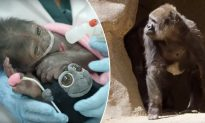 Gorilla That Almost Died at Birth Years Ago Reunites with Her Baby Born After C-Section