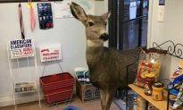 Mother Deer Wanders Inside of Colorado Gift Shop