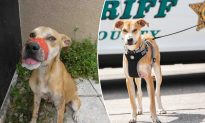 Starving Dog Found With Mouth Taped Shut Is Now Sheriff's Brave Deputy 'Chance'