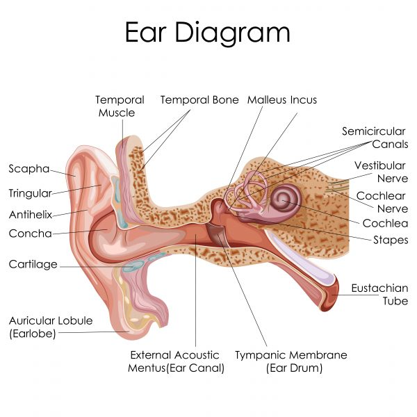 ear diagram anatomy
