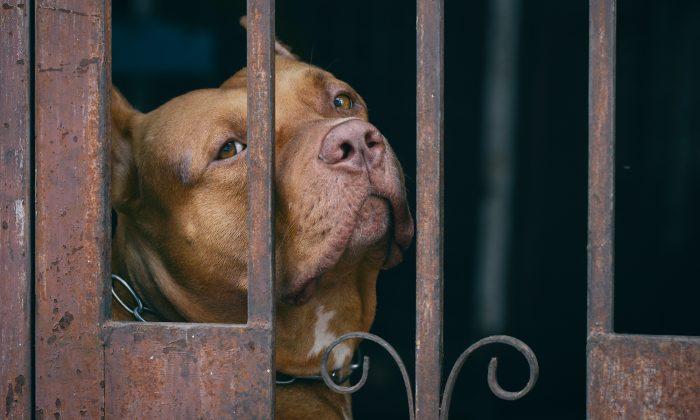 A pit bull (Illustration - Shutterstock)