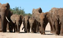300 Mourning Elephants Come to Say Final Goodbyes After Their Leader Passes Away