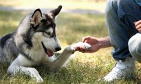 Meet the Husky Who Sniffed Her Owner's Cancer Not Once but Thrice