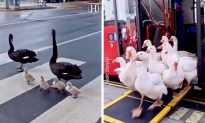 Swans Walk Along Busy City Streets as If It's Normal