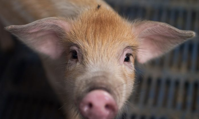 A piglet at a pig farm on the outskirts of Beijing.(NICOLAS ASFOURI/AFP/Getty Images)