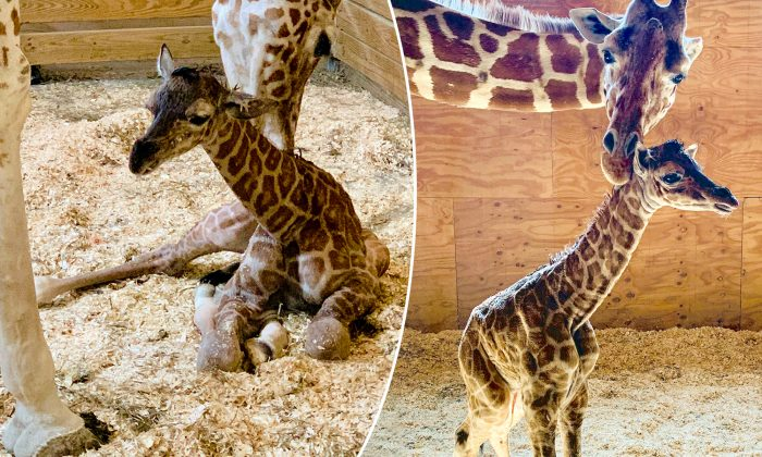 New York Animal Park's 'April' the Giraffe Gives Birth for the Fifth Time – and It's a Boy!