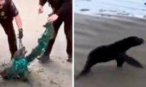 Officers Encounter Seal Trapped in Plastic on the Beach, Immediately Attempt to Detangle It