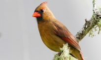 Woman Spots 'One in a Million' Yellow Cardinal