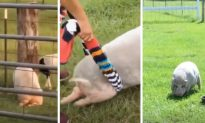 Pig Suddenly Loses Use of Hind Legs, but Owner Has an Ingenious Solution