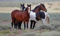 Feds Offer $1,000 To Adopt Wild Horses Because They Can't Cull Them