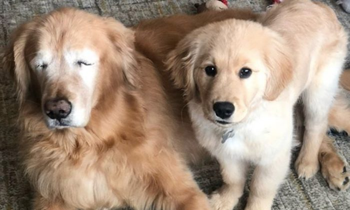 Four-Month-Old Puppy Becomes 'Seeing-Eye' Companion for Blind Golden Retriever
