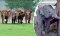 Video: Elephant Herd Runs to Greet New Orphan Baby Elephant at Sanctuary–So Adorable