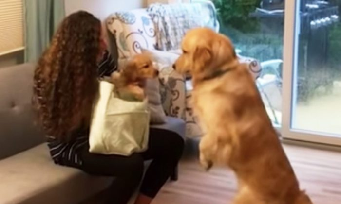 Golden Retriever Meets New Pup Brother, Falls In Love Just After 1st 'Nose Bump'
