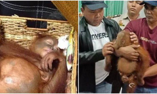 Air Passenger Caught With Drugged Orangutan in His Suitcase