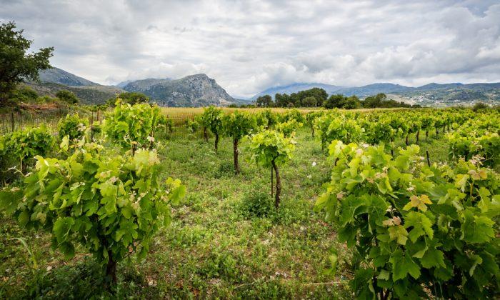 On Crete, the soft Aegean and Cretan Sea breezes nurture a rare viticultural environment. (Shutterstock)