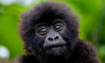 Baby Gorilla Lost Mom to Illegal Wildlife Trade, Now Depends on Cuddles From His Keeper