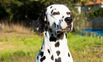 Friendly Dalmatian 'Wears' a Heart on His Nose and the Internet Can't Resist His Cuteness