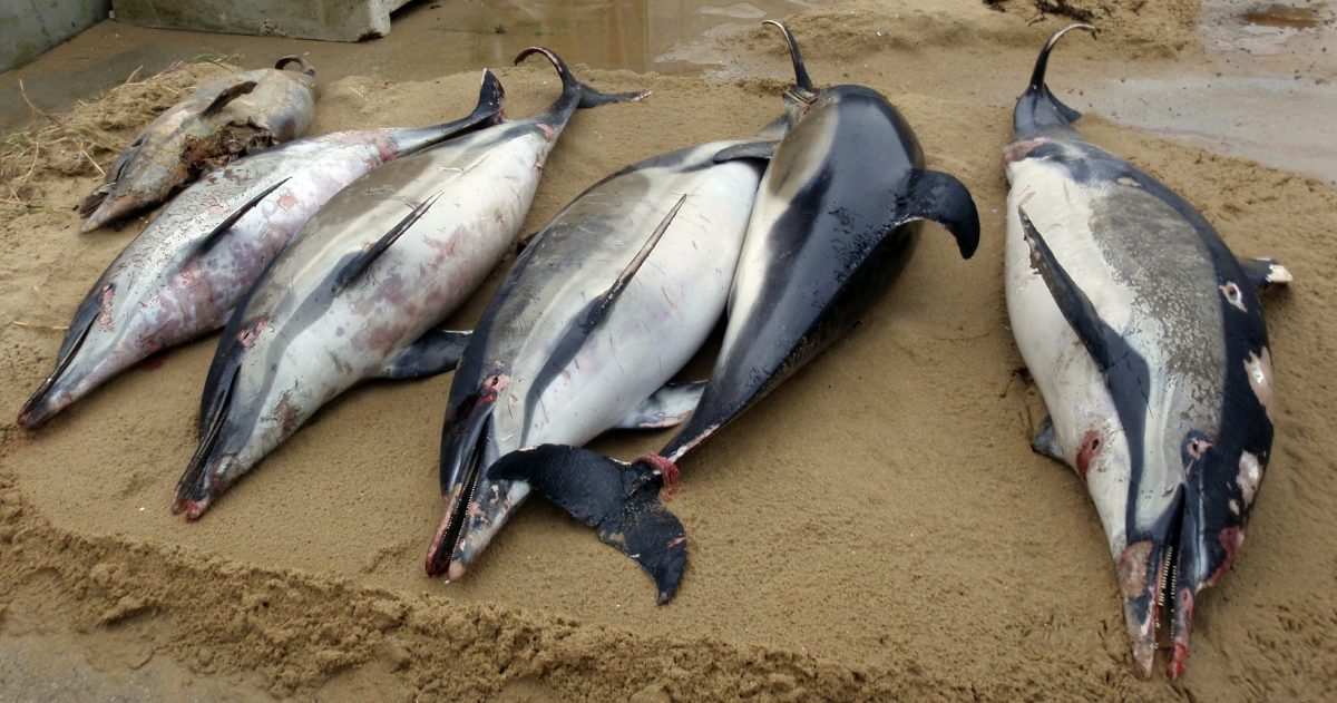 french beach dead dolphins