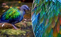 The Dodo Bird's Closest Living Relative Puts On a Stunning Show of Iridescent Feathers