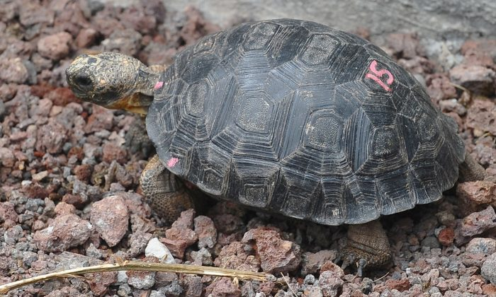 Baby Tortoises Found Thriving on a Galapagos Island After a Century-Long Absence
