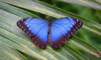 San Francisco Man Is Repopulating Disappearing Butterfly Species in His Backyard