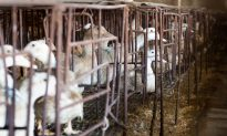 In Growing Trend, Chinese Authorities Crack Down on Duck Meat Company, Seize Assets