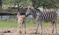 Zookeepers Save Newborn Zebra From Drowning by Wading Through Chest-Deep Water