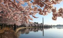 The Cherry Blossoms in Washington