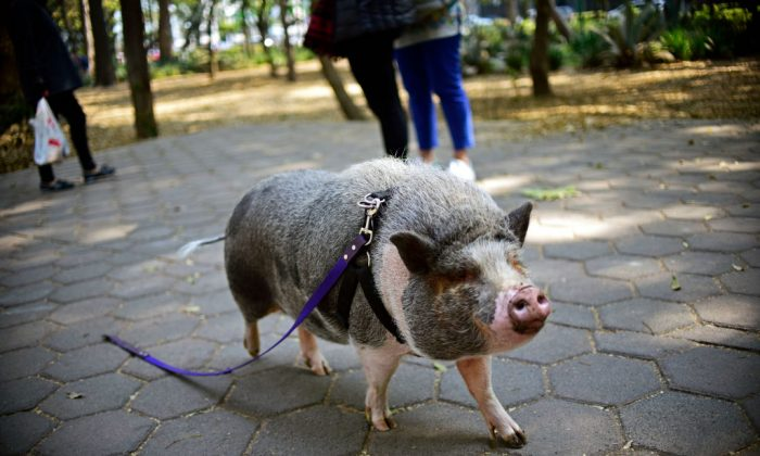 File photo of a pet pig called Jacinto, seen walking with a leash at a park in Mexico City on Jan. 4, 2018. A runaway pet pig in California was found recently and butchered by an area man. (Pedro Pardo/AFP/Getty Images)
