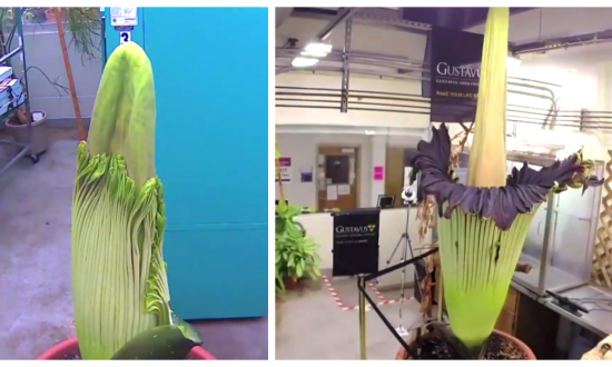 Big & Stinky: The Full Bloom Cycle of The Corpse Flower
