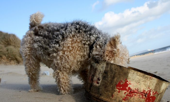 A Lakeland terrier explores the beach. (Pixabay)