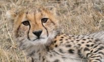 Metro Richmond Zoo Welcomes Cheetah Septuplets: It's a Rare 1 Percent Chance