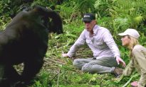 Conservationist Introduces Wife to His Gorilla Friends and They're 'In Love With Her'