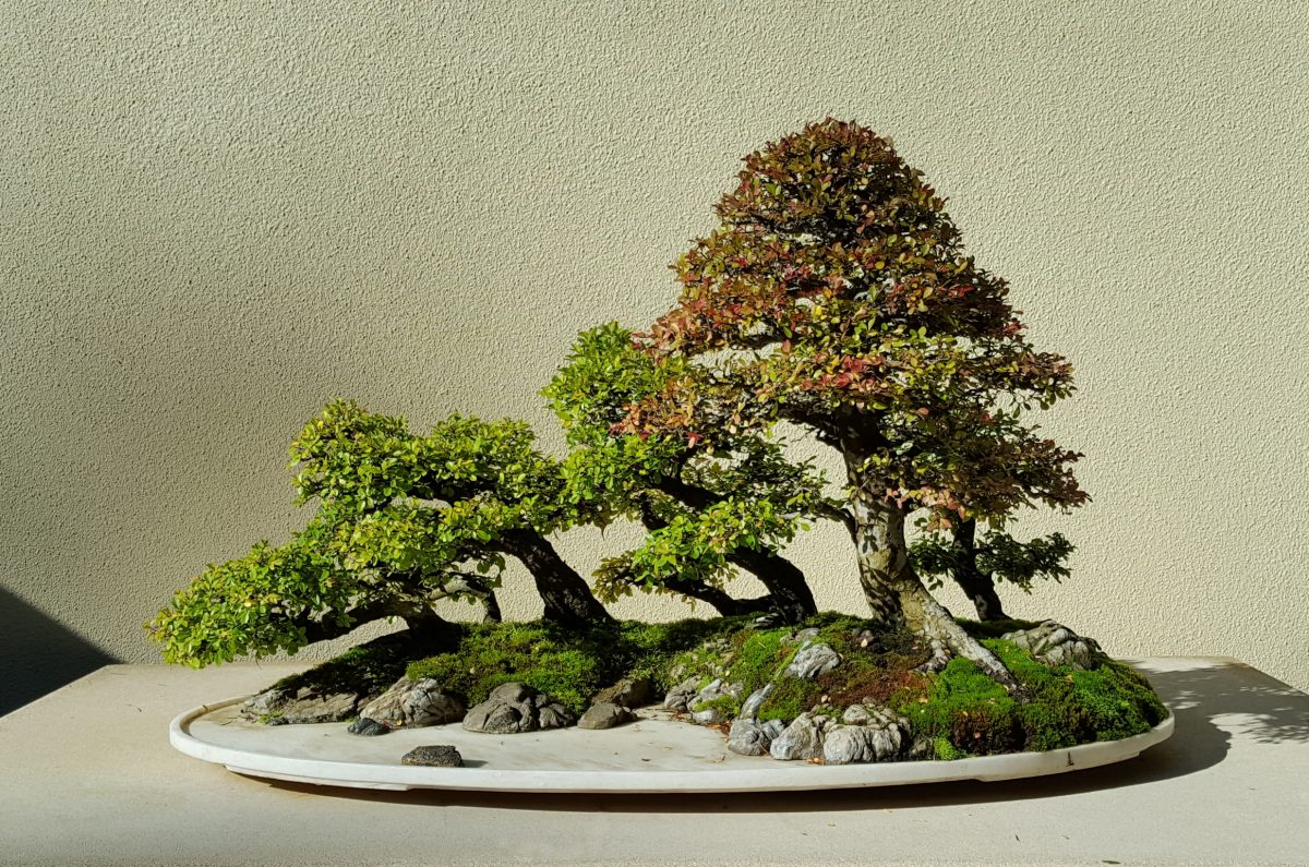 Chinese Elm_