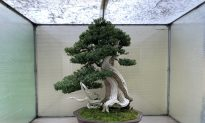 Enliven Your Spirit at the Pacific Bonsai Museum