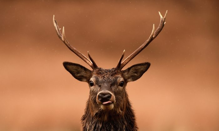 A red deer grazes following the end of the rutting season in Glen Etive, Scotland, on Nov. 12, 2014. (Jeff J Mitchell/Getty Images)