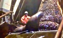 Sea Lion Board Fishing Vessel Unexpectedly!