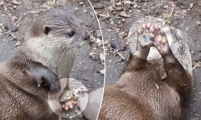 It's Show Time! Otter Delights Zoo Visitors With Its 'Professional' Rock-Juggling Stunt