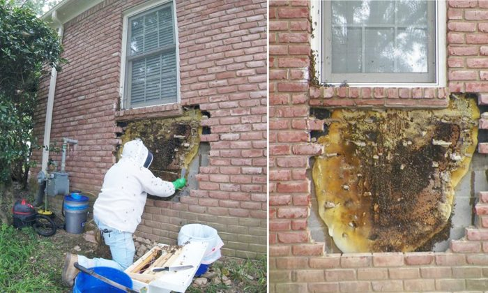 Bee Whisperer Spends 5 Hours to Remove Giant Honeycomb Hidden Behind Brick Wall