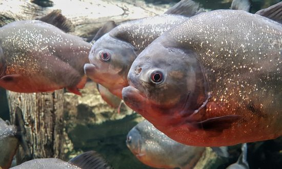 Piranhas Found At English Lake Where Children Paddle, Ducks Have Been Disappearing