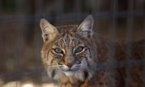 Rabid Bobcat Put Down After Attack on Golfer, Horse