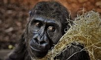 Last of the World's Critically Endangered Gorillas Pose for Selfies With Anti Poaching Rangers