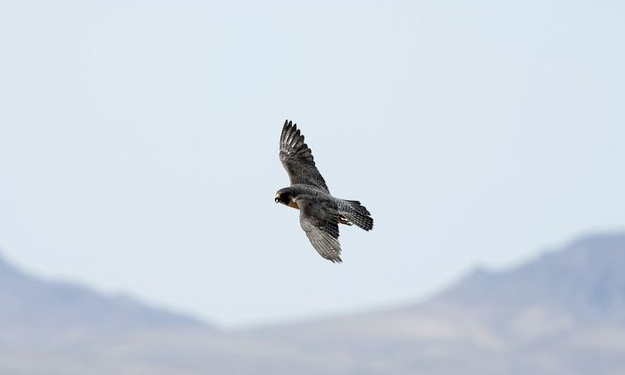 Study Finds Mercury in Predator Peregrine Falcons