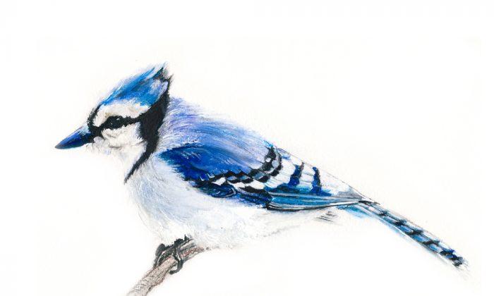 Blue jay. (Magnolija Three/Shutterstock)