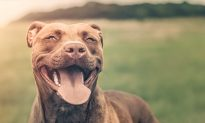 Emaciated Pit Bull Abandoned in a Cage With No Food Learns to Love Again After Rescue